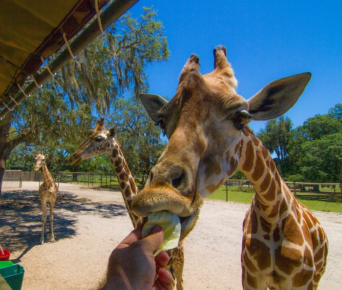 Picture of Giraffe Ranch
