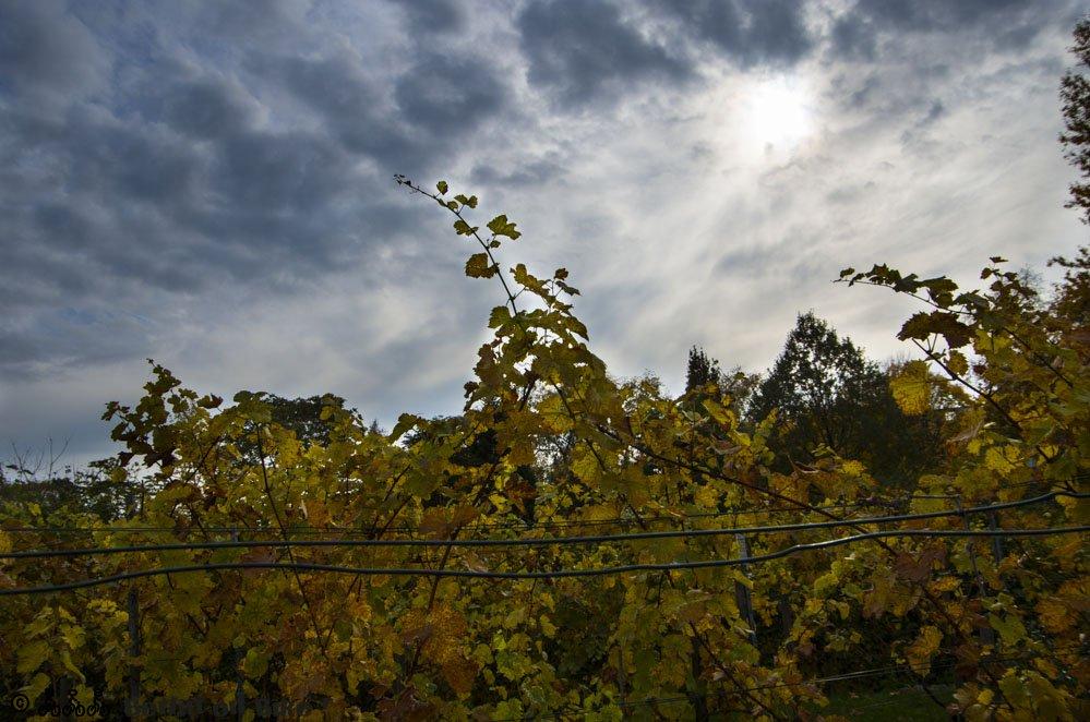 Wein Blätter Himmel