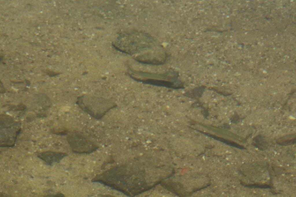 Bislang sind die meisten Fischpopulationen in den Tagebauseen noch nicht stabil, zumindest in Brandenburg werden derzeit noch 1.000e Fische jährlich ausgesetzt. Hier im Gremminer See, scheinen sie sich aber ganz wohl zu fühlen.