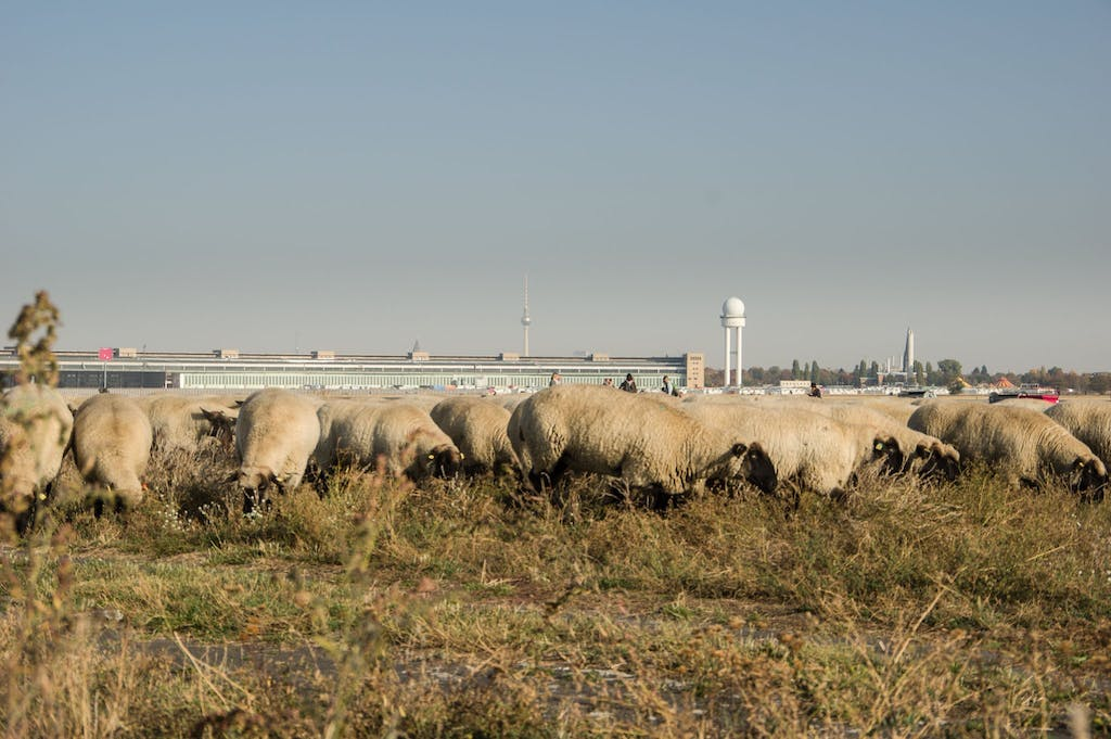 """Once a year a shepherd takes his flock of sheep to the airport for """"lawn maintenance"""""""