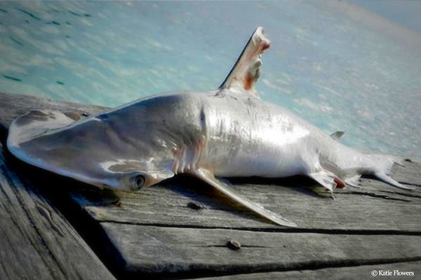 New Shark Species Discovered in Belize Feb. 2017