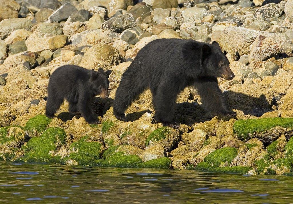 a black bear and cub walking along the shoreline