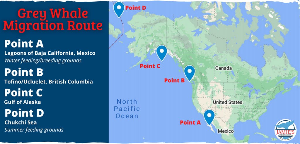 Grey whale migration route on a map