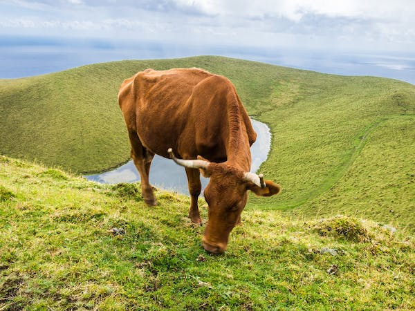 a brown cow standing on top of a lush green field