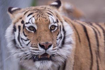 a tiger looking at the camera