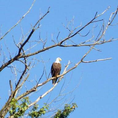 Picture of a bald eagle seen on the tour.