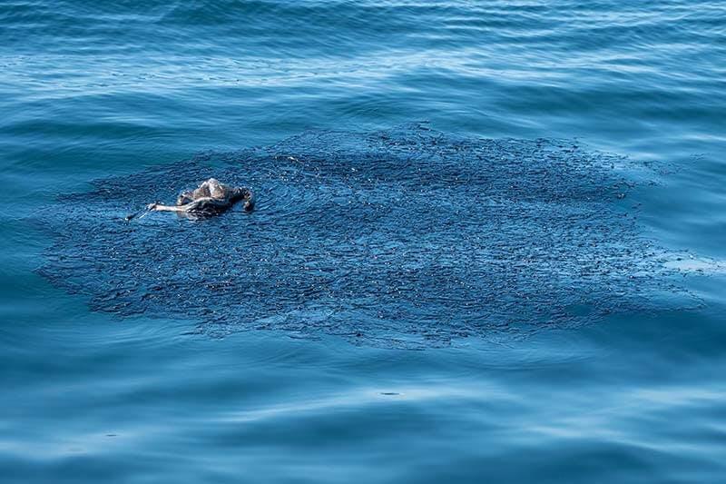 Deceased Brown Pelican in Patch of Oil Spill