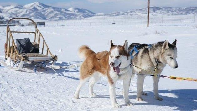 Dogs hooked up to a dog sled
