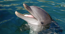 animalfacts-dqbdolphin