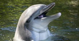 animalfacts-dqhdolphin