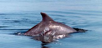wilddolphinwbaby