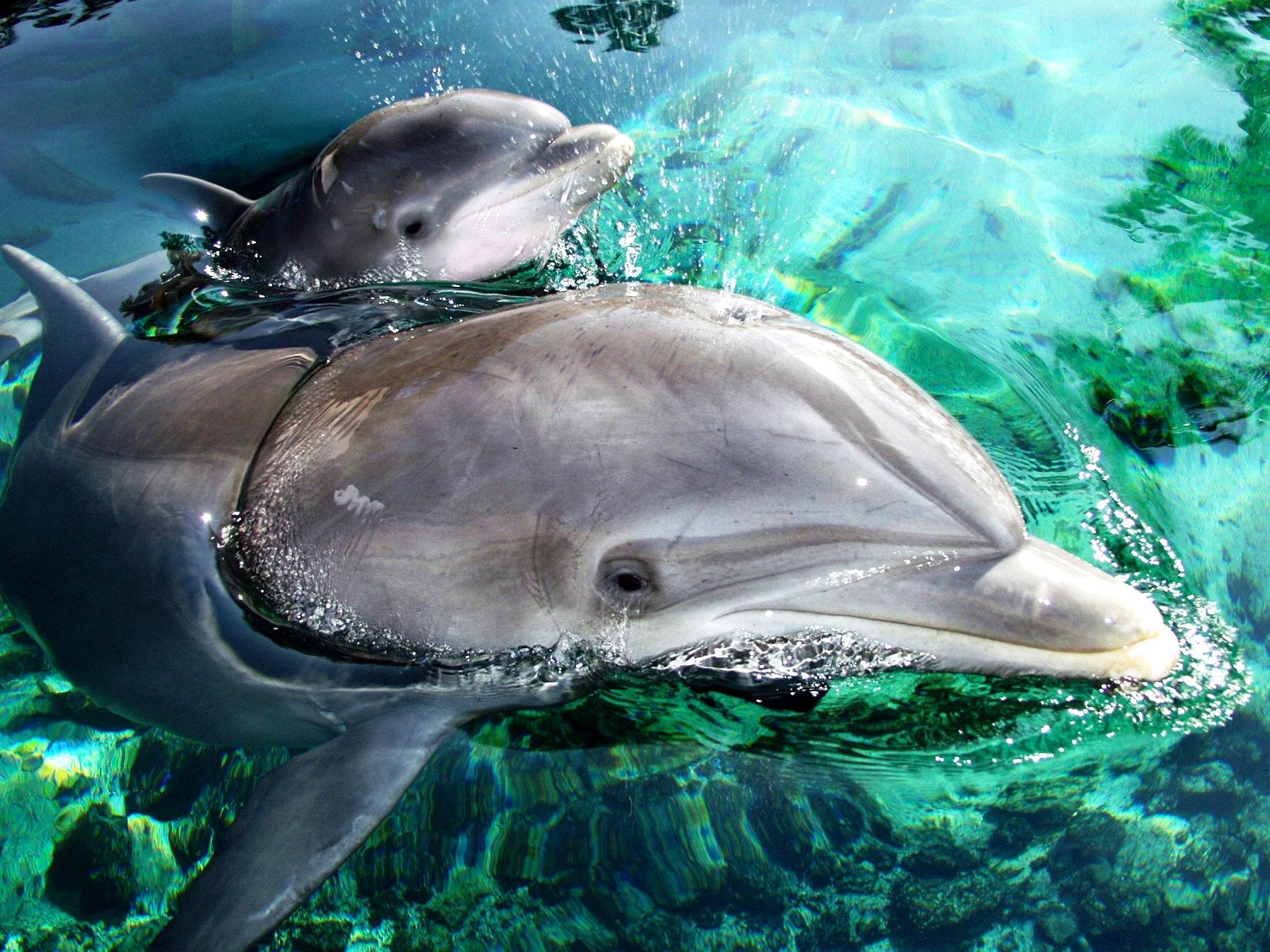 Dolphin Mother & Calf