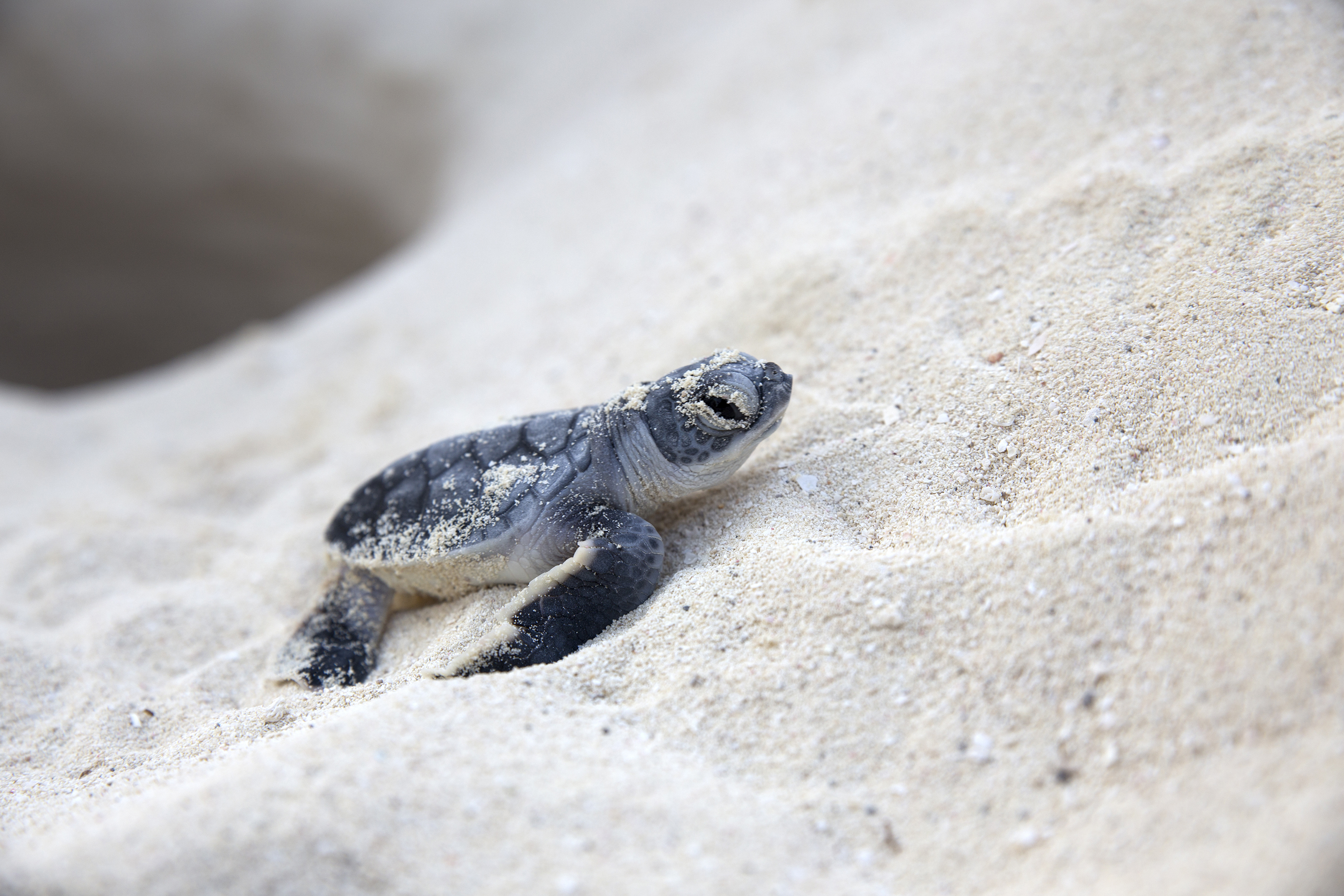 sea turtle Since leatherbacks prefer eating jellyfish, it's widely believed they mistake bags  or  credit: image courtesy of canadian sea turtle network.