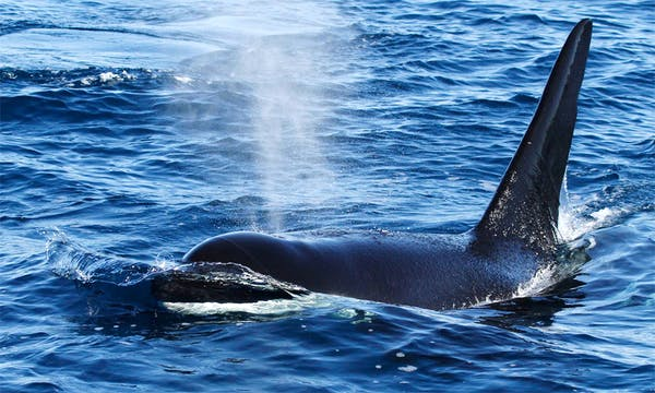 fake-killer-whale