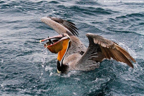 pelican_MG_1162