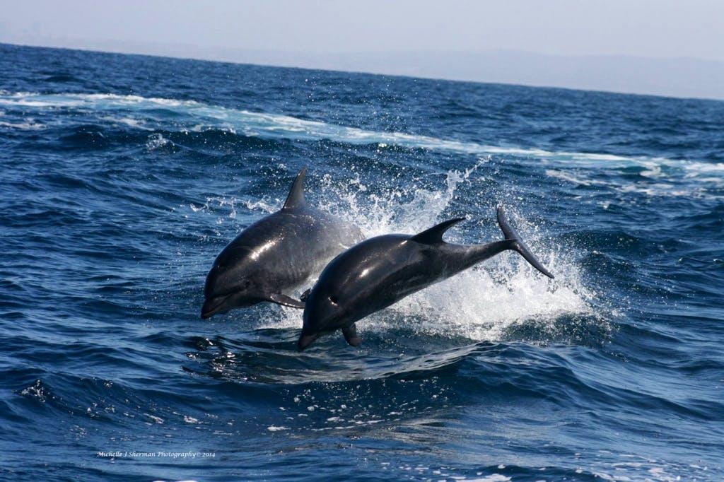 bottlenose dolphin outline