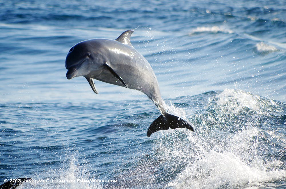 Janet McClellan dolphin