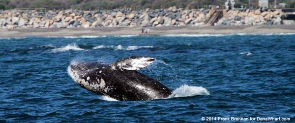 breaching gray whale
