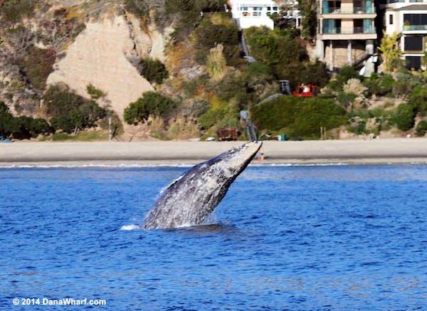 gray whale breaching near beach