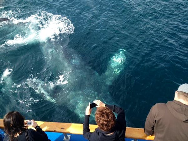 gray whale under water near surface
