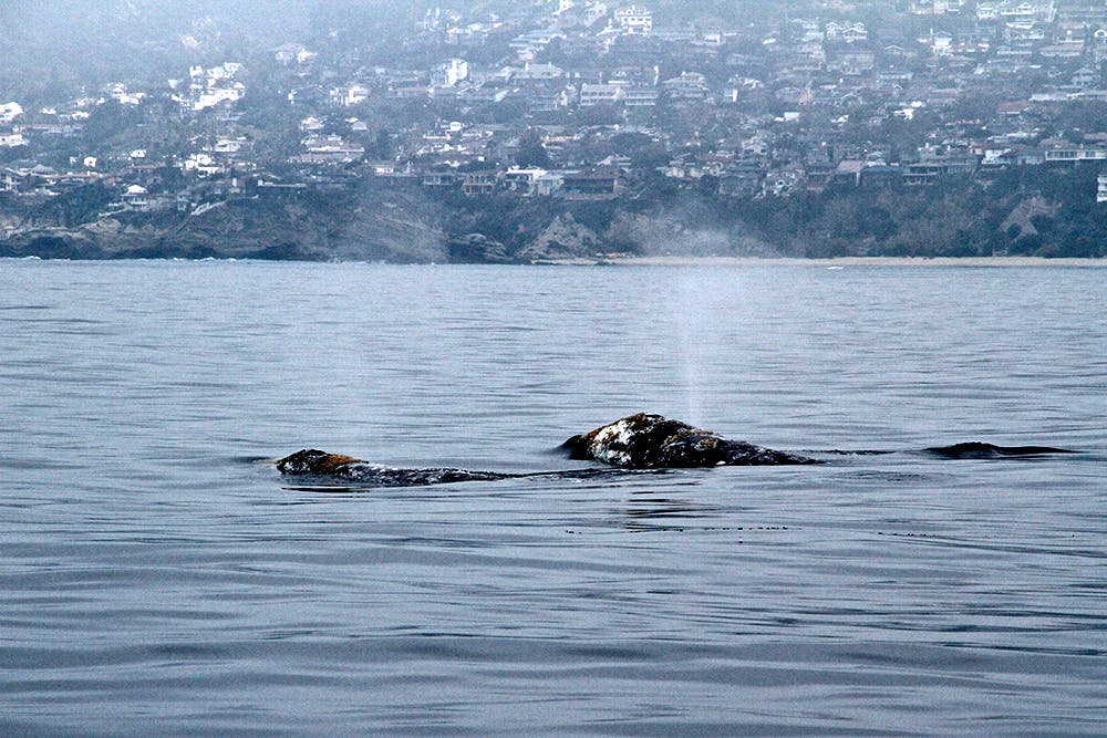 whale spouting in harbor