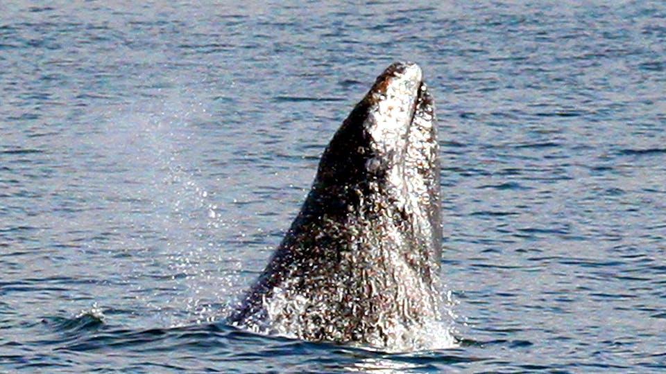 whale breech