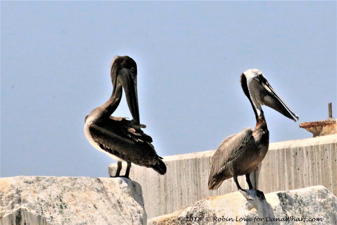 brown pelicans, juvenile on left, mature on right