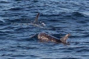 Rissos dolphins