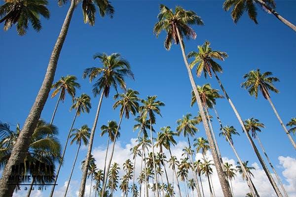 HawaiiMovieTourGuide_CocoPalms