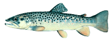 tahoe sportfish browntrout