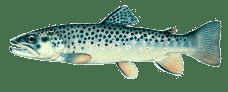 tahoe sportfish browntrout