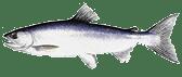 tahoe sportfish Kokanee-Salmon