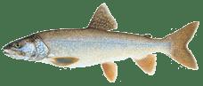 tahoe sportfish laketrout