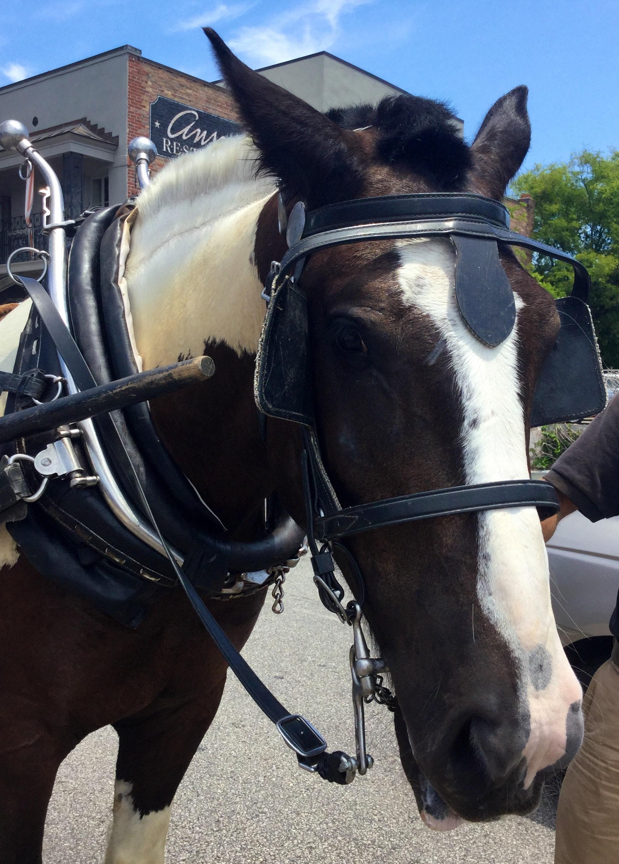 Picasso, Carolina Carriage Horse