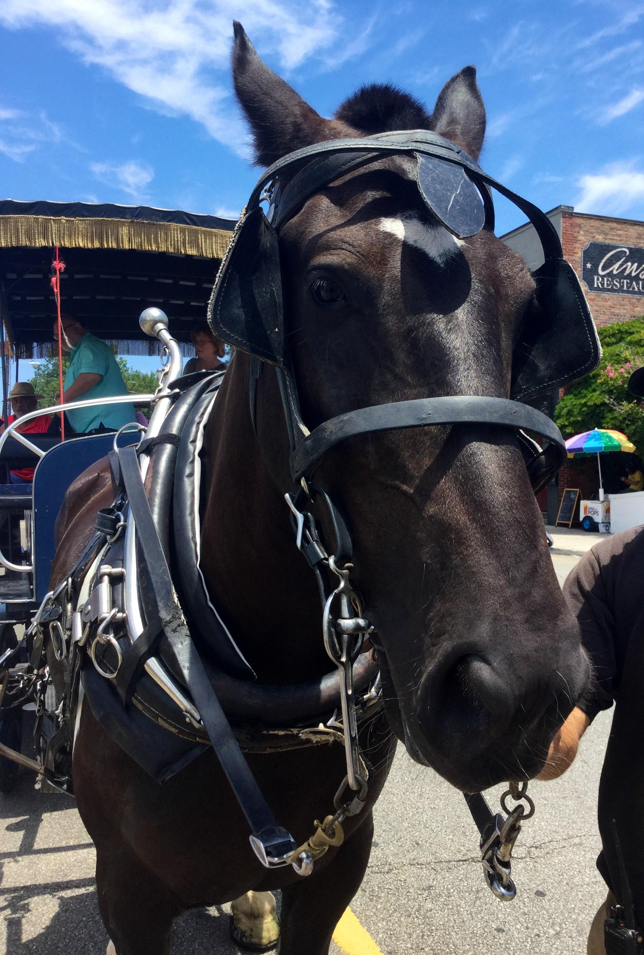 Rembrandt, Carolina Carriage Horse