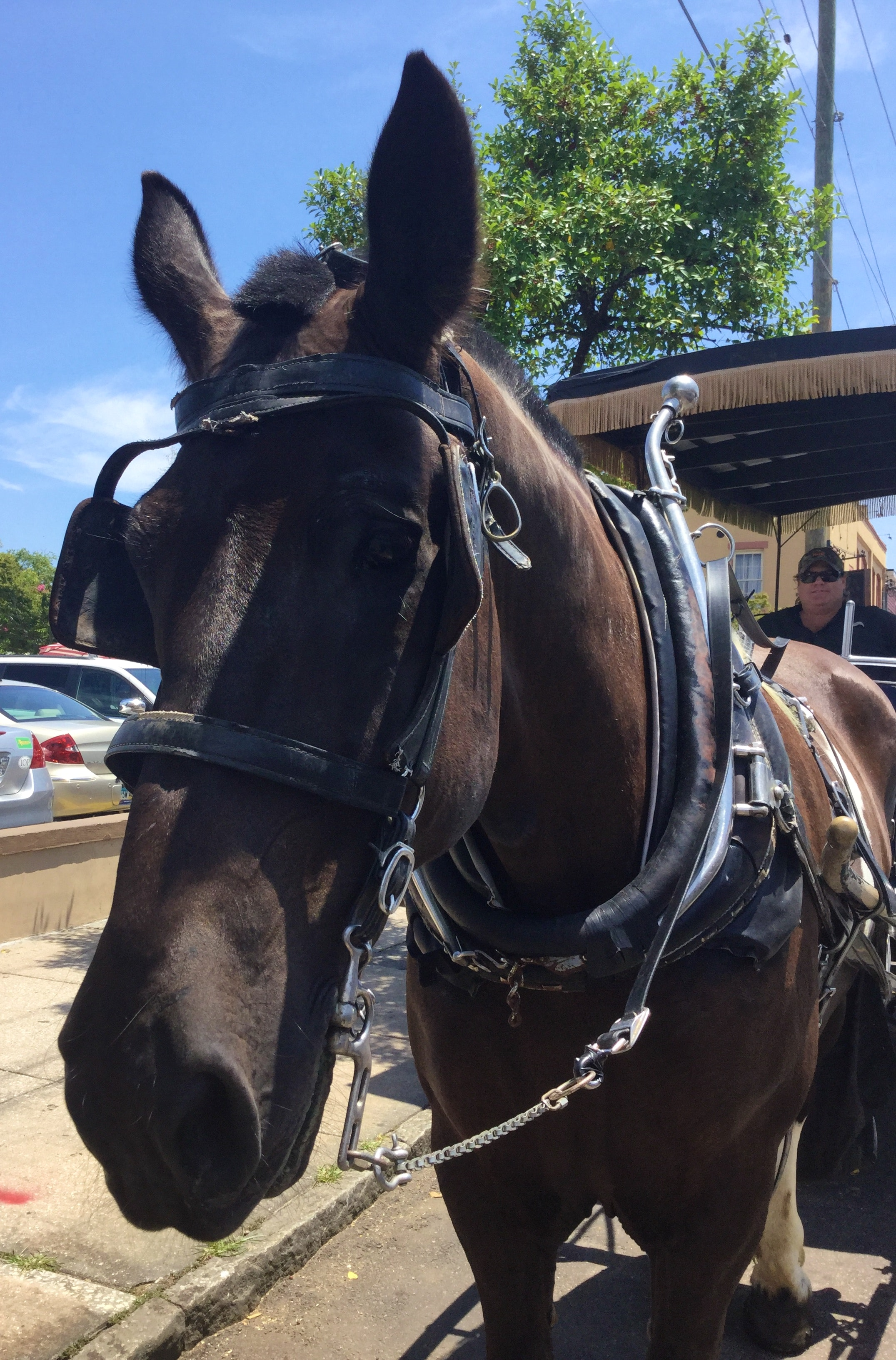 Yamassee, Carolina Carriage Horse