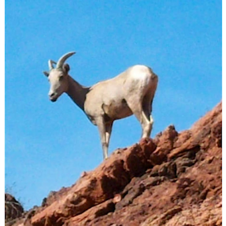 A goat standing on a mountain side