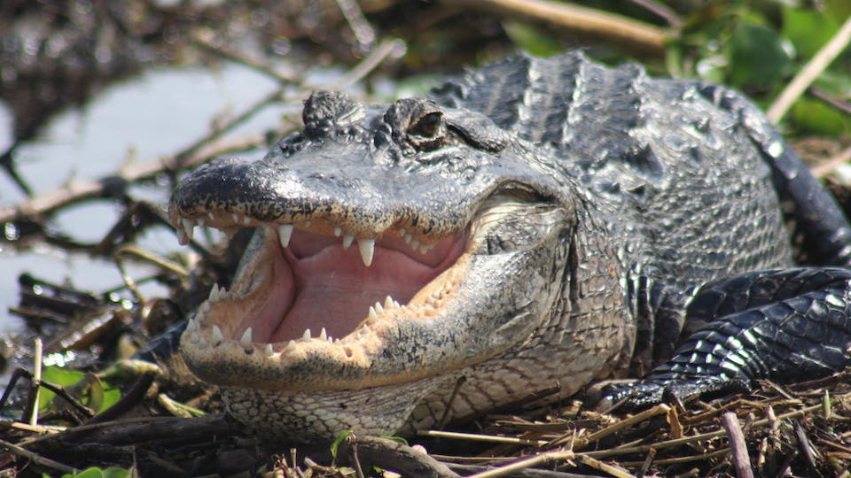 Everglades Day Safari – From Ft. Myers Image 1