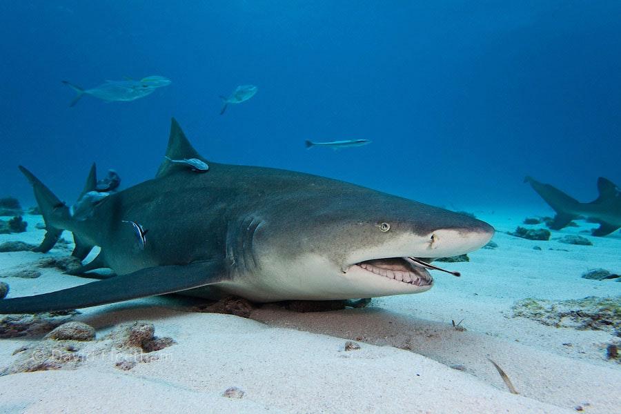 Pilot-fish: small friends of big sharks
