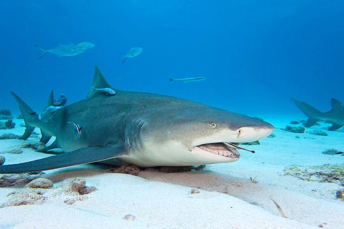 The Shark and The Remora Fish – A Unique Relationship ...