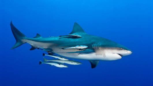 The Shark And The Remora Fish – A Unique Relationship! | North Shore ...