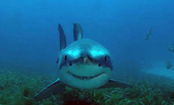Bull Shark Facts For Kids