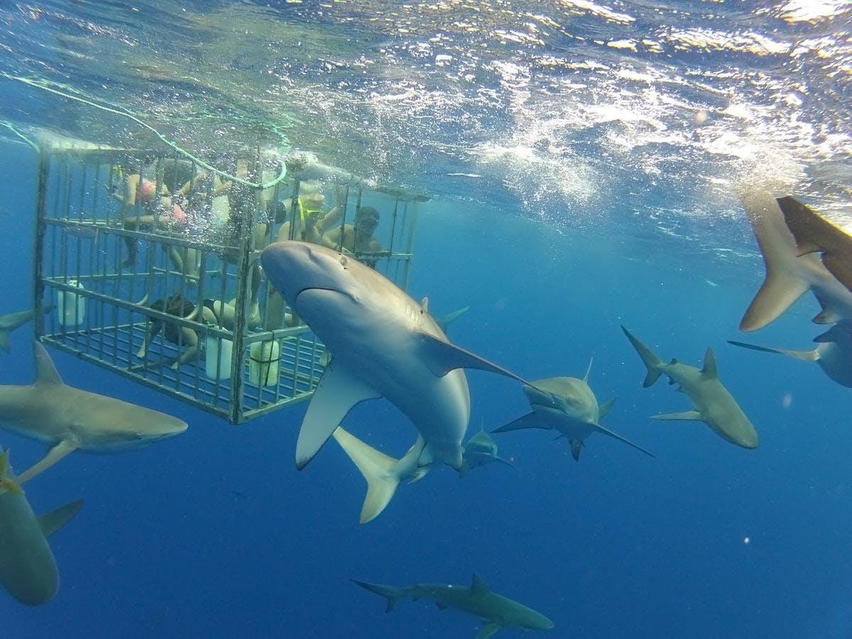 North Shore Shark Adventures Premier Shark Tours On Oahu