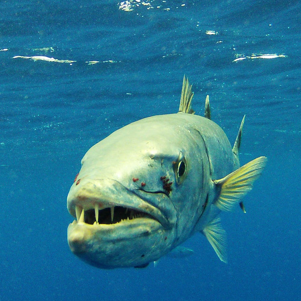 Barracuda fish north shore shark adventures barracuda fish thecheapjerseys Image collections