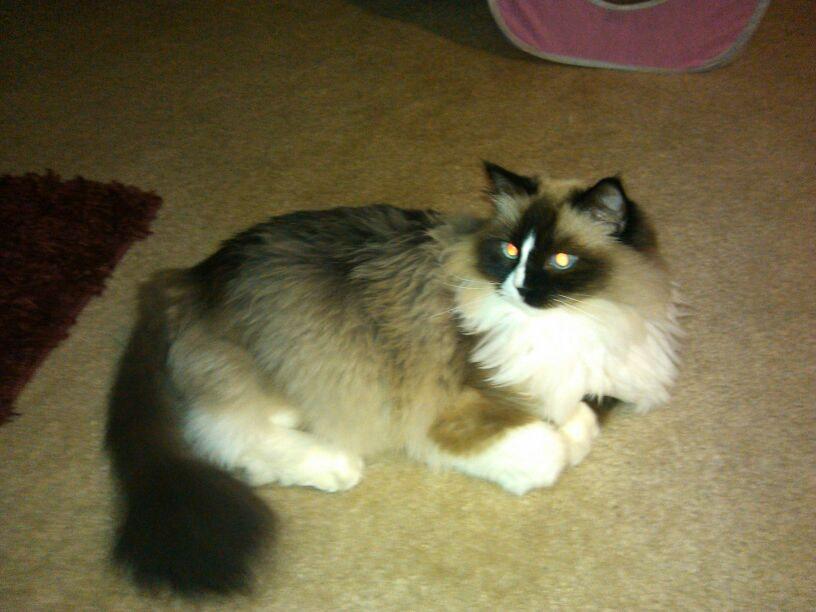 bengal kitten personality