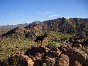 Wolf in the Sonoran Desert