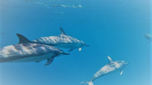pod of dolphins swim