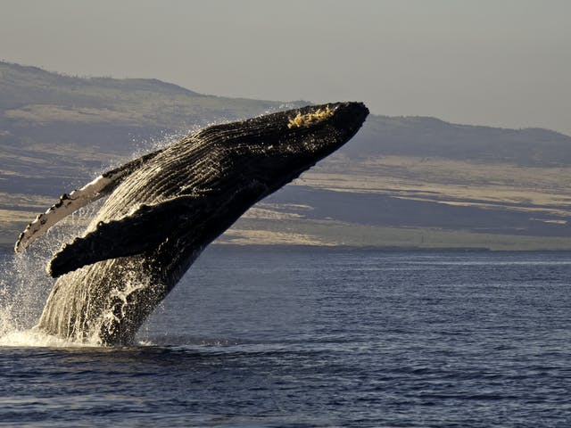 Whale Jumping in ocean