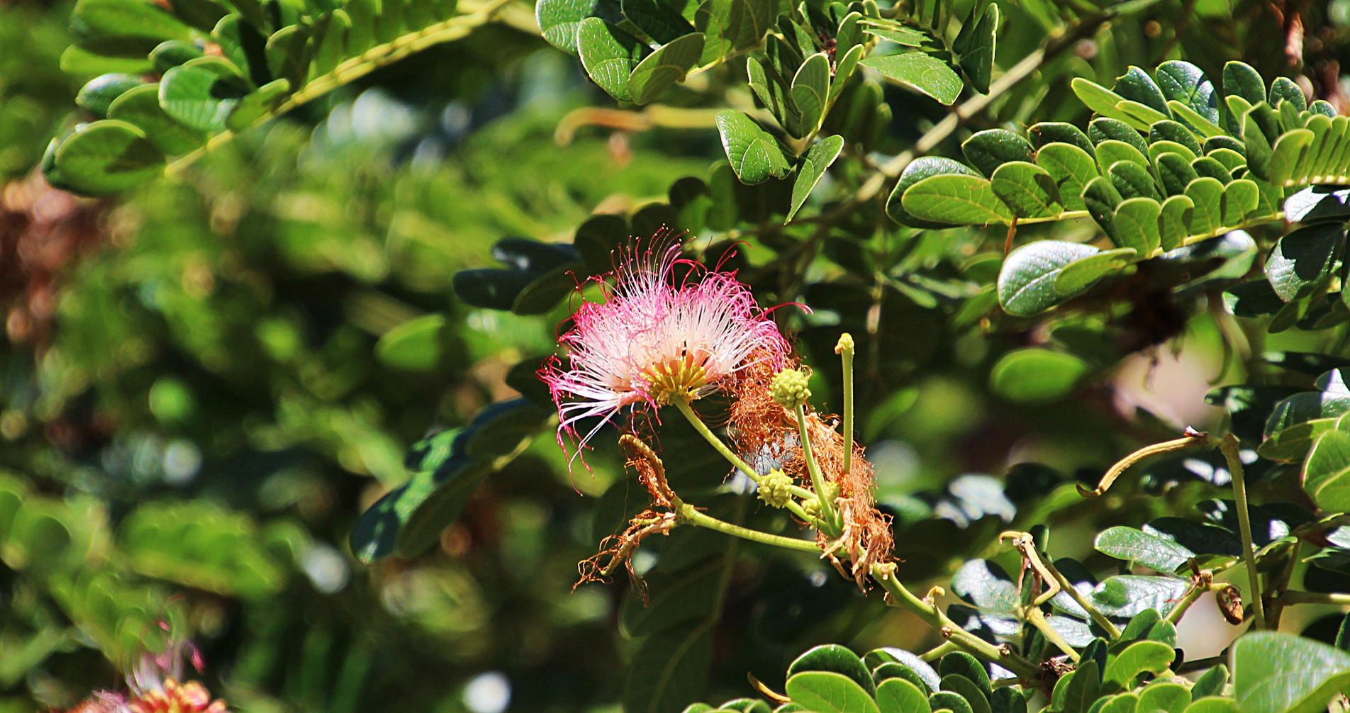 The flower of the Monkeypod tree. Albizia saman is... </p srcset=