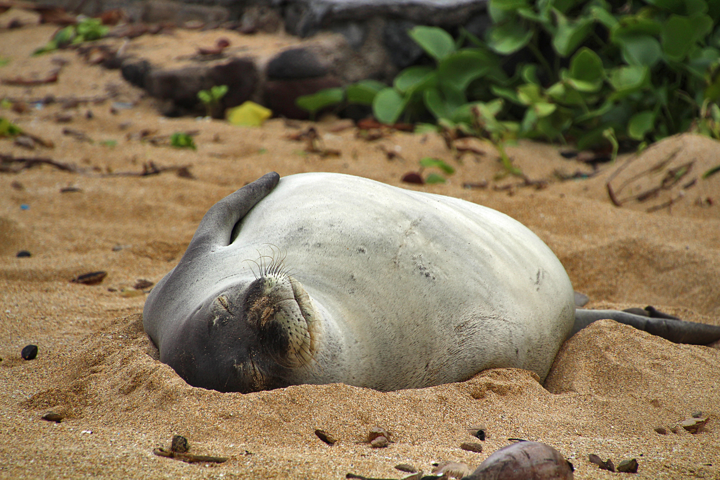 Hawaiian Monk Seal on the beach.
